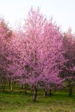 Cherry Blossom at Phu Lom Lo. Phu Hin Rong Kla National Park in Phitsanulok province of Thailand Stock Photo