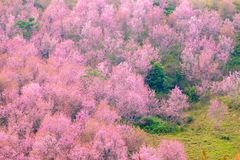 Cherry Blossom at Phu Lom Lo. Phu Hin Rong Kla National Park in Phitsanulok province of Thailand Stock Photography