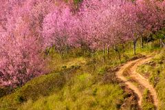 Cherry Blossom at Phu Lom Lo. Phu Hin Rong Kla National Park in Phitsanulok province of Thailand Royalty Free Stock Photography
