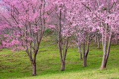 Cherry Blossom at Phu Lom Lo. Phu Hin Rong Kla National Park in Phitsanulok province of Thailand Stock Images