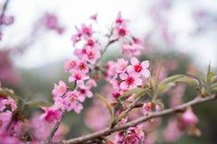 Cherry Blossom pica el doi chang de la flor de Sakura en Chiang Rai, Thail fotografía de archivo