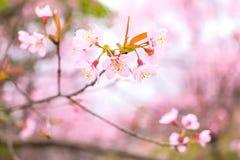 Cherry Blossom pica el lo Loei Tailandia del lom del phu de la flor de Sakura Fotos de archivo