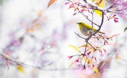 Cherry Blossom pica el lo oriental Loei Tailandia del lom del phu del blanco-ojo de la flor de Sakura Imagen de archivo libre de regalías