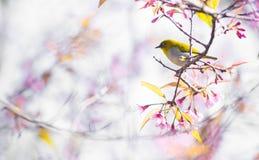 Cherry Blossom pica el lo oriental Loei Tailandia del lom del phu del blanco-ojo de la flor de Sakura Foto de archivo libre de regalías