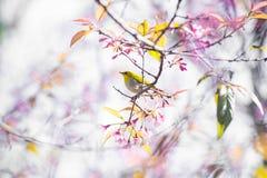 Cherry Blossom pica el lo oriental Loei Tailandia del lom del phu del blanco-ojo de la flor de Sakura Imagen de archivo