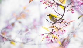 Cherry Blossom pica el lo oriental Loei Tailandia del lom del phu del blanco-ojo de la flor de Sakura Fotografía de archivo