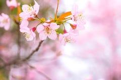 Cherry Blossom pica el lo oriental Loei Tailandia del lom del phu de la flor de Sakura Imagen de archivo