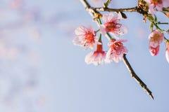 Cherry Blossom pica el lo oriental Loei Tailandia del lom del phu de la flor de Sakura Imágenes de archivo libres de regalías