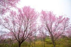 Cherry Blossom pica el lo oriental Loei Tailandia del lom del phu de la flor de Sakura Fotos de archivo libres de regalías