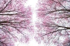 Cherry Blossom pica el lo oriental Loei Tailandia del lom del phu de la flor de Sakura Fotografía de archivo