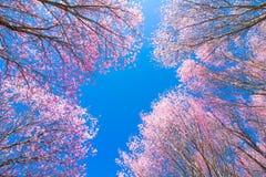 Cherry Blossom pica el lo oriental Loei Tailandia del lom del phu de la flor de Sakura Imagen de archivo libre de regalías