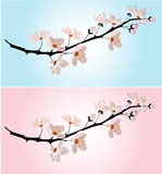 Cherry blossom on pink and blue Stock Photo