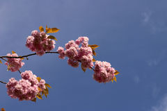 Cherry blossom pink Stock Photography