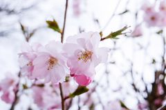 Cherry blossom, Pink flower royalty free stock image