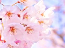 Cherry blossom pink flowers background royalty free stock images