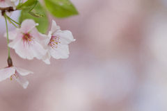 Cherry blossom. A pink cherry blossom with leaves Stock Images