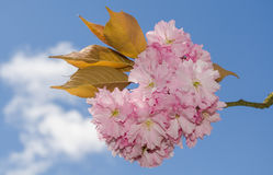 Cherry Blossom. Pink cherry blossom and leaves with blue sky and clouds Stock Images