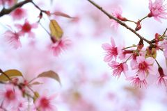 Cherry blossom , pink sakura flower. In close up royalty free stock images