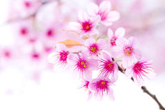 Cherry blossom , pink sakura flower Royalty Free Stock Photography