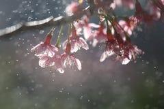Cherry blossom , pink sakura flower Stock Photos