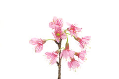Cherry blossom , pink sakura flower Stock Images