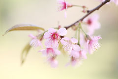Cherry blossom , pink sakura flower Royalty Free Stock Image