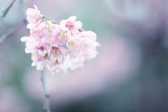 Cherry blossom , pink sakura flower Stock Photography