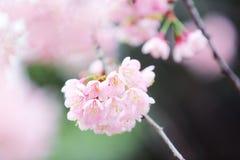 Cherry blossom , pink sakura flower Stock Image