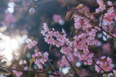 Cherry blossom or pink sakura flower with sunbeam Stock Images