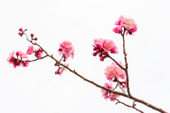 cherry blossom or pink Sakura isolated on white royalty free stock photography