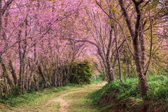 Cherry blossom pink sakura in Thailand and a footpath leading in Royalty Free Stock Photos