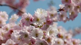 Cherry blossom stock video