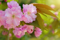 Cherry blossom. Pink cherry blossom tree in spring Royalty Free Stock Photo