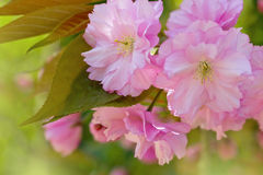 Cherry blossom. Pink cherry blossom tree in spring Royalty Free Stock Image