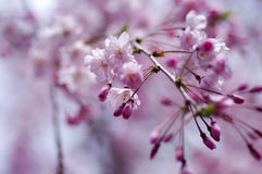 Cherry blossom. Pink weeping sakura: cherry blossom Stock Photography