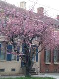 Cherry Blossom-Platz stockfotos