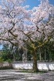 Cherry Blossom pleurant au temple Daigo-JI de Daigoji à Kyoto, Japon images libres de droits