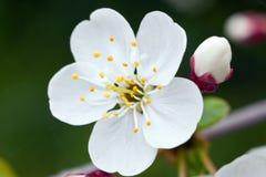 Cherry blossom Royalty Free Stock Image