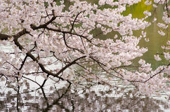 Cherry Blossom and Pond of Japenese Garden Stock Photo