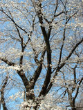 Cherry blossom - portrait. Cherry blossom tree on clear sky background Stock Photography