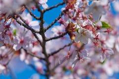 Cherry blossom, Prunus serrulata, full bloom Royalty Free Stock Photo