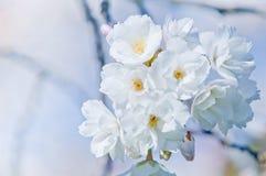 Cherry blossom, Prunus serrulata, full bloom Royalty Free Stock Photography