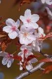 Cherry blossom, Prunus serrulata, full bloom Stock Photography