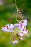Cherry blossom, Prunus serrulata, full bloom Stock Photo