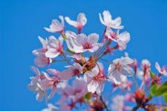 Cherry blossom, Prunus serrulata, full bloom Royalty Free Stock Photos