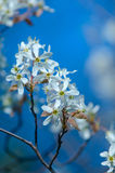 Cherry blossom, Prunus serrulata, full bloom Stock Image