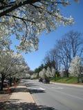 Cherry blossom. Prunus yedoensis (white cherry blossom), Charlottesville, Virginia. Spring of 2010 Stock Image