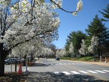 Cherry blossom. Prunus yedoensis (white cherry blossom), Charlottesville, Virginia. Spring of 2010 Royalty Free Stock Photos