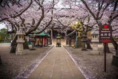 Cherry blossom in the public local temple in Chiba district, Japan. Stock Image