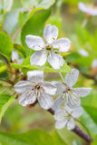Cherry blossom with rain drops on the petals, pistils and stamens close up on a background of green leaves Stock Image